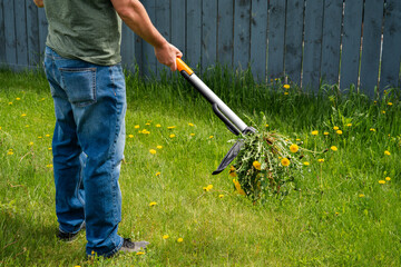 Fototapeta Man removing weeds dandelions from yard. Mechanical device for removing dandelion weeds by pulling the tap root in garden. Weed Control. Dandelion removal and weeder lawn tool with 4 claws. Garden.