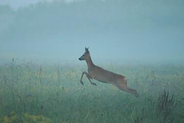 Fotobehang Bosdieren Jumping deer in Biebrza National Park, Poland