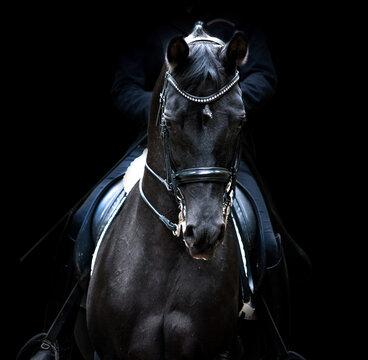 black dressage horse of trakehner breed portrait on black background