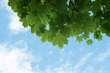 Wall Mural - Maple leaves against the blue sky