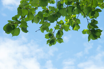 Wall Mural - green leaves against the blue sky