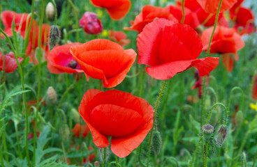 Wall Mural - Wild poppies growing in a spring field