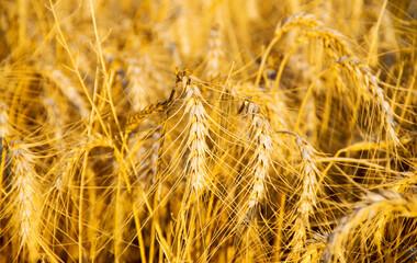 Wall Mural - Wheat Field