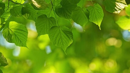 Wall Mural - Green foliage of a growing tree waving in the wind during bright sunny day. Beautiful out of focus boke. Warm abstract close-up shot. 4K