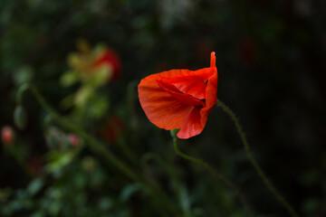 Obraz Pojedynczy, kwitnący, czerwony mak polny - fototapety do salonu