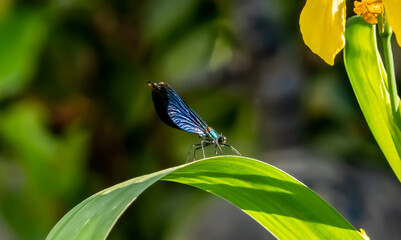 Calopteryx virgo - male dragonfly