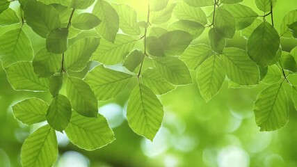 Wall Mural - Fresh green leaves on a tree sway in the wind. Elegant green background of green leaves and bokeh. UHD, 4K