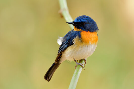 Tickell's blue flycatcher (Cyornis tickelliae) tiny fat blue bird with orange breast white belly and  big eyes perching on bamboo stick over bright background in nature
