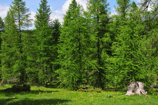 Forest of European larch conifer (Larix decidua) in south of France