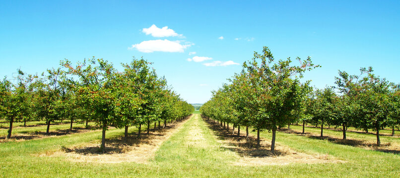Beautiful nature scene with cherry tree. plantation of cherry trees in springtime. fruit orchard in the spring. field fruits rows growing on a sunny day in may after the blossom with cloudscape.