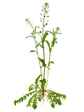 Shepherd's purse plant isolated on white, Capsella bursa-pastoris