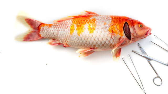 Dead Koi fish, diseases infected