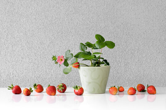 Blooming strawberry plant growing in a pot.