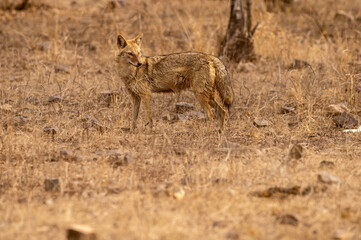 Fototapeta Indian jackal or Canis aureus indicus subspecies of golden jackal at keoladeo national park or bharatpur bird sanctuary rajasthan india