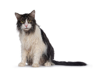 Wall Mural - Wet freshly washed adult Norwegian Forestcat, sitting facing front. Looking annoyed to camera. Isolated on white background.
