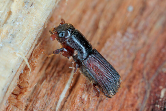 Male of Platypus cylindrus, commonly known as the oak pinhole borer, is a species of ambrosia beetle in the weevil family Curculionidae formerly Platypodidae. Pest in forests.