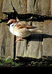 Fototapeta ptak wróbel mazurek zasiedlajacy obrzeza wsi kolo miasta lomża na podlasiu w polsce obraz