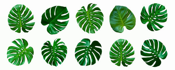 Wall Mural - set of green monstera palm and tropical plant leaf isolated on white background for design elements, Flat lay