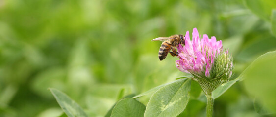 Green field of blooming clover. Bees fly around the flowers.