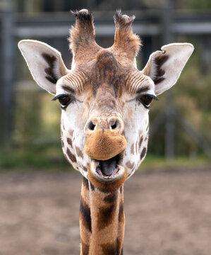 Portrait of a Rothschild Giraffe (Giraffa camelopardalis rothschildi)