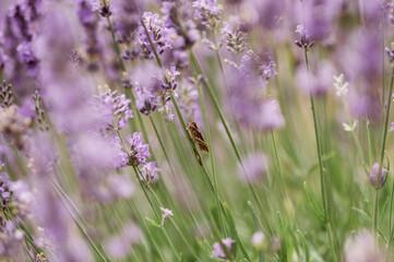 Kwiaty lawenda na pastelowym rozmytym tle z owadem siedzącym na pochylonym pędzie