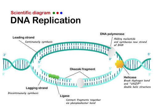 Dna Replication Photos Royalty Free Images Graphics Vectors Videos Adobe Stock