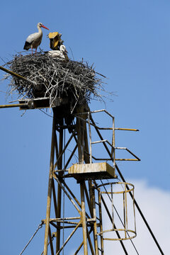 White storks are seen on a nest built atop a crane in Torre d'Isola, near Pavia