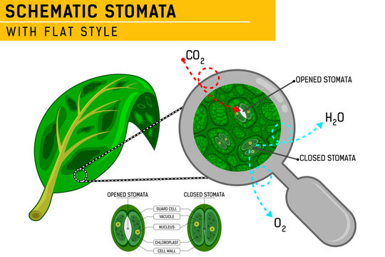 Magnified leaf stomata with schematic stomata open and closed. Vector ilustration for web design, ui, ux, mobile app on isolated on white background. Flat design for education purposes and other