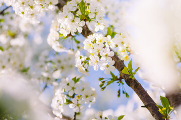 壁紙(ウォールミューラル) - Attractive photo of blossoming tree branch with white flowers on bokeh background in sunny day.