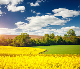 Wall Mural - Yellow canola field and and fluffy white clouds on a sunny day. Picturesque rural area in springtime.