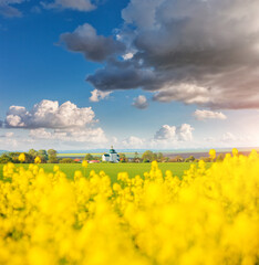 Wall Mural - Yellow canola field and and fluffy white clouds on a sunny day.