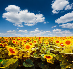Wall Mural - Summer scene with bright yellow sunflowers on a sunny day.