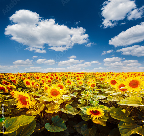 Wall mural Summer scene with bright yellow sunflowers on a sunny day.
