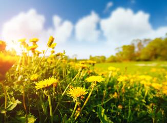 壁紙(ウォールミューラル) - Fresh field with yellow dandelions in bright sunny day.