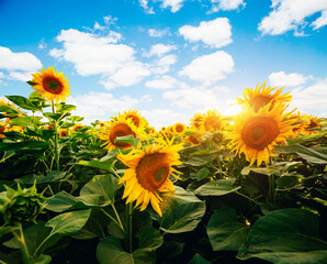 Wall Mural - Summer scene with bright yellow sunflowers on a sunny day. Location place of Ukraine, Europe.