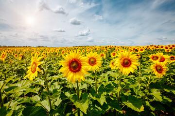 壁紙(ウォールミューラル) - Picturesque scene with bright yellow sunflowers on a sunny day. Location place of Ukraine, Europe.