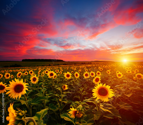 Wall mural Majestic scene of vivid yellow sunflowers in the evening. Location place Ukraine, Europe.