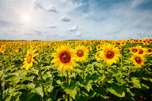 Wall mural Picturesque scene with bright yellow sunflowers on a sunny day. Location place of Ukraine, Europe.
