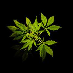 cannabis marijuana background . hemp plant on a black dark wallpaper