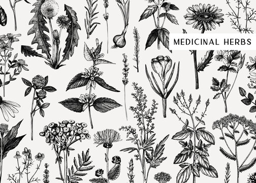 Hand drawn medicinal herbs banner design. Vector flowers, weeds and meadows sketches. Vintage summer plants template. Botanical background with floral elements in engraved style. Herbs outlines