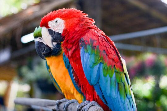 Portrait of beautiful colorful orange yellow green parrot bird in outdoor park.International Migratory Bird Day, World Migratory Bird Day, Bird Day,Exotic pet