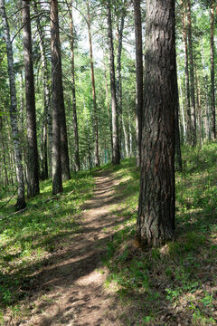 A dirt footpath in a summer pine forest.