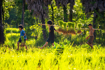 Fototapeta Boy and two girls playing in the fields during the farming season. The way of life of Southeast Asian people walking through rural areas rice fields, Sakon Nakhon Province, Thailand.