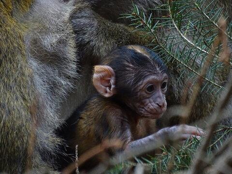 Un bébé macaque de barbarie un singe également connu sous le nom de Magot