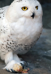 Wall Mural - A hungry snowy owl holding prey in its claws. Selective focus.