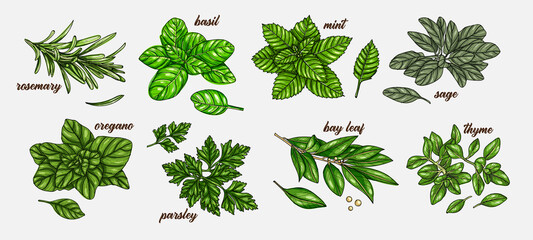 Hand drawn culinary herbs and spices. Vector illustration of rosemary, basil, mint, sage, parsley, bay leaf, oregano, thyme. Hand drawn vintage background.