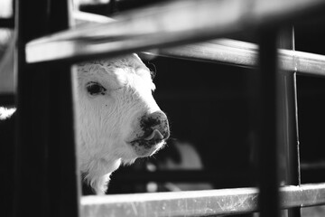 Wall Mural - Funny face of Hereford calf close up through fence in black and white on beef farm.