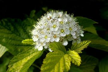 Fototapeta Krzewuszka biały kwiat, krzew ogrodowy obraz