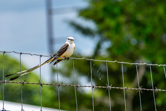 Scissor tailed Fly Catcher sitting on the fence