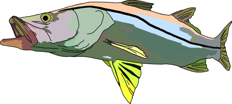 Colored snook fish or robalo